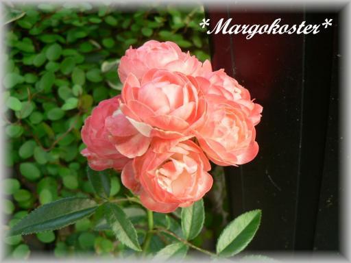 Margo Koster7.17.1.jpg
