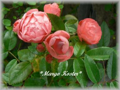 Margo Koster7.5.2.jpg