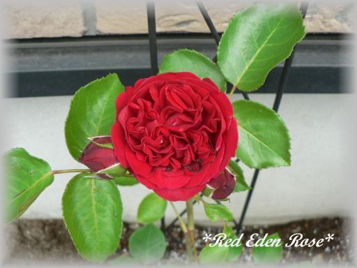 Red Eden Rose6.11.2.jpg