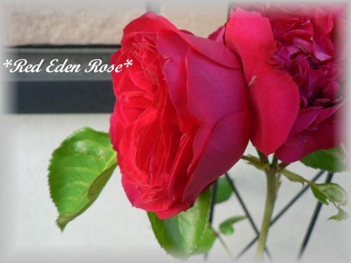 Red Eden Rose6.16.jpg