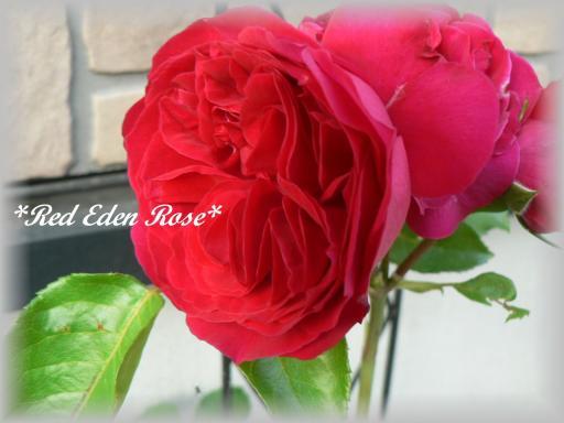 Red Eden Rose6.16.2.jpg