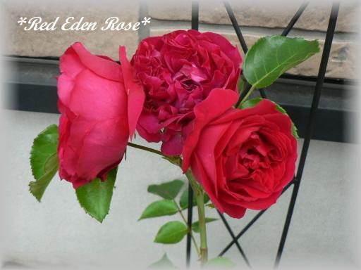 Red Eden Rose6.17.jpg