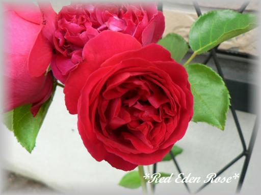 Red Eden Rose6.17.2.jpg