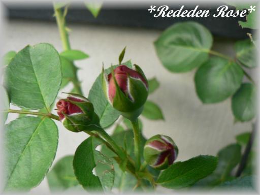 Red Eden Rose7.17.jpg