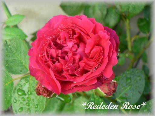 Red Eden Rose7.22.1.jpg