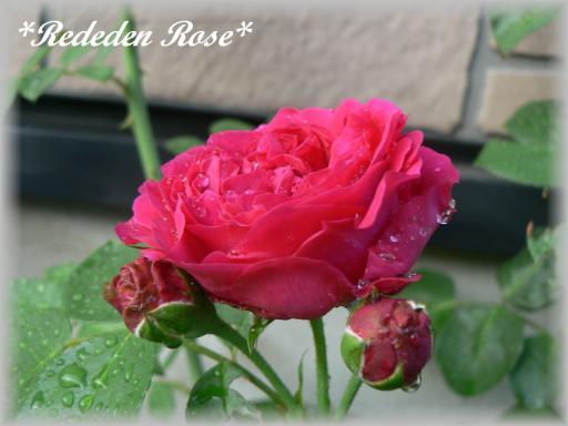Red Eden Rose7.22.2.jpg