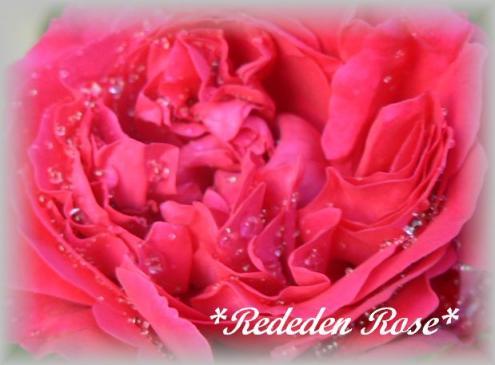Red Eden Rose7.22.3.jpg