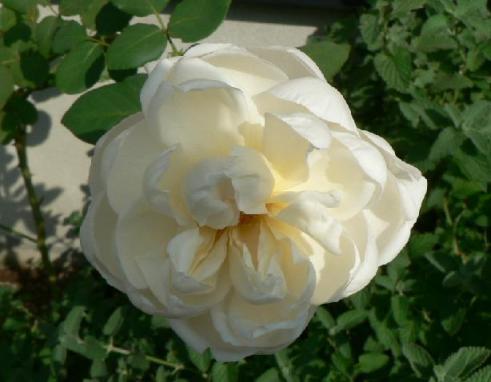 新雪つるバラ開花-2