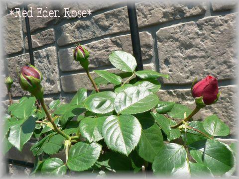 Red Eden Rose2009.4.29.jpg