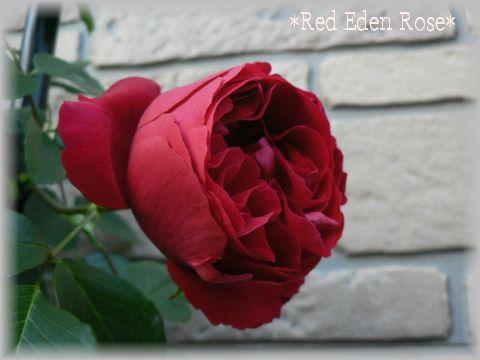 Red Eden Rose2009.5.2.jpg