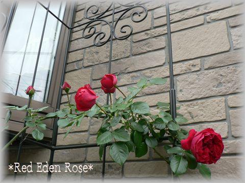 Red Eden Rose2009.5.7-1.jpg