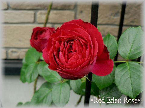 Red Eden Rose2009.5.7-2.jpg