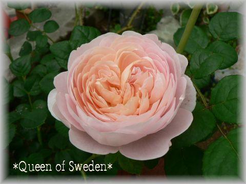 Queen of Sweden2009.5.11-2.jpg