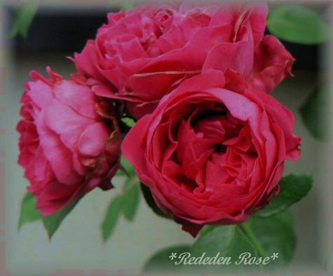Red Eden Rose7.27.jpg
