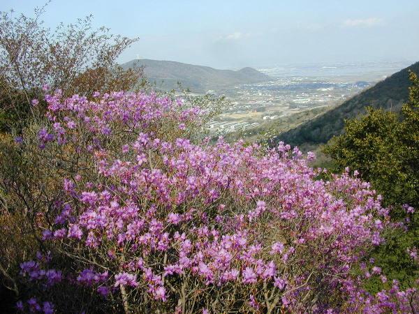 滝頭山のミツバツツジ