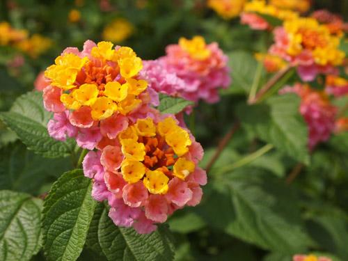 ピンクと黄色の花