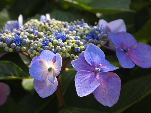 青紫のあじさい