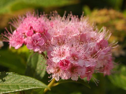 ピンクのもしゃもしゃの花