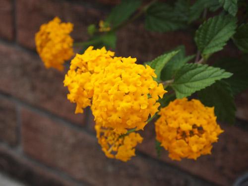 黄色の花とレンガ