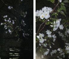 つぼみと花.jpg
