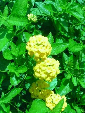 カメラ比較_黄色花.JPG