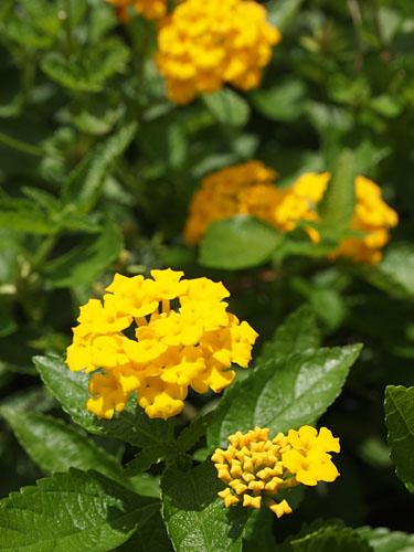 黄色の花2.jpg