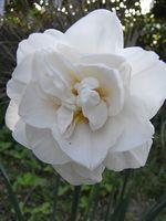 0804水仙ホワイト八重 2008-04-08 16-41-51.jpg
