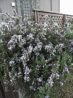 0804ローズマリー 2008-04-08 16-43-13.jpg