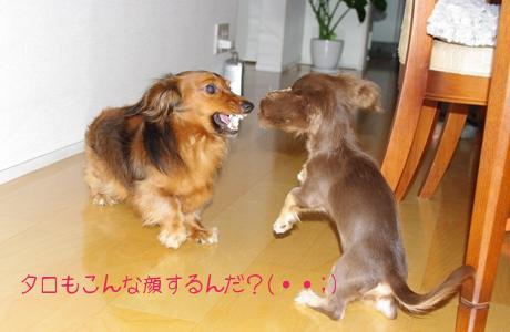 20090826 タロ兄ちゃん すごい顔!.jpg