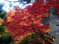 大雄山の紅葉