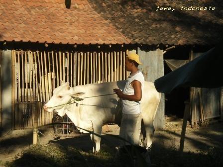 牛と人間が一緒に働く