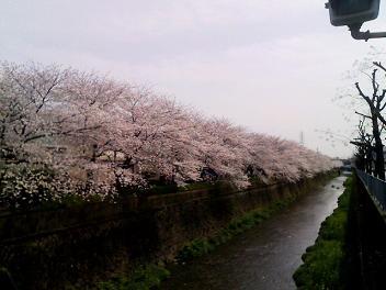 0405sakura (1).JPG