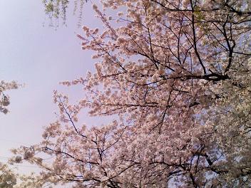 0405sakura (4).JPG