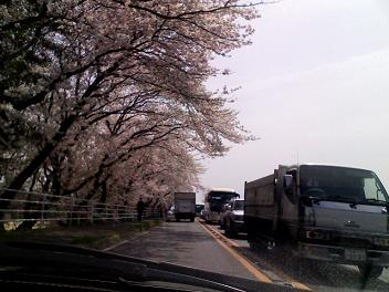 0405sakura (5).JPG