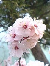 幼稚園の梅