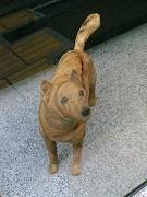 aoyama dog