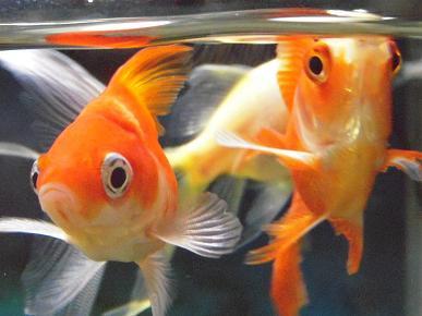 金魚さん(玉サバ)