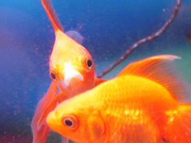 カメラ目線の金魚さん