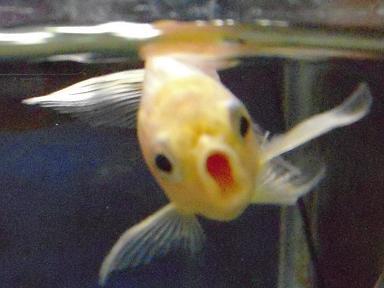 金魚の叫び 12