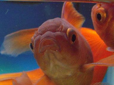 茶色い金魚さん