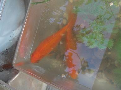 姉金サイズの和金魚さん