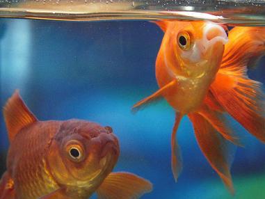 茶金魚と流金さん