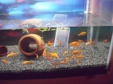 和金魚水槽