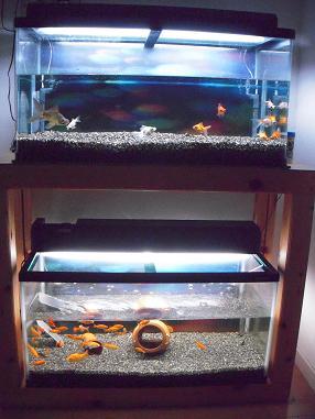 出目金水槽と和金水槽