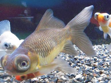 出目金水槽はじめました   出目金魚ぶろぐ - 楽天ブログ