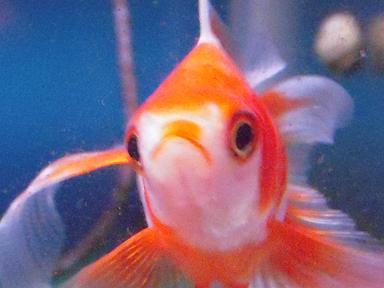 口紅金魚さん