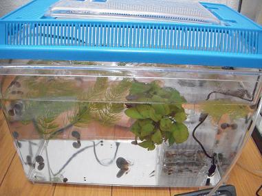 プラケースで貝とエビ飼育