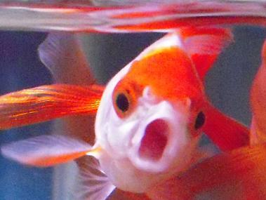 怒りの金魚さん