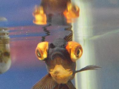水面に映る蝶尾出目金さん