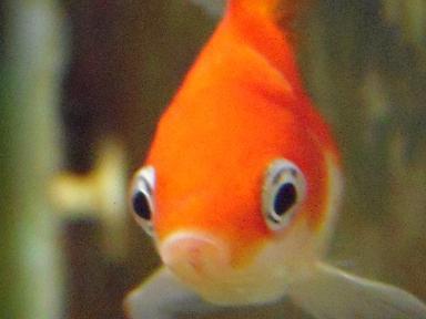 おすまし顔の金魚さん